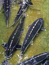G-FISH GERONTIDIS